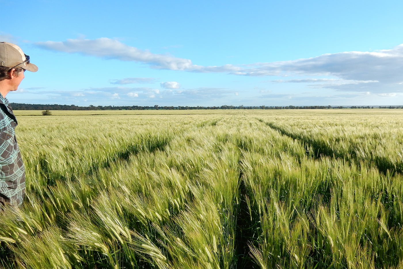 riverina wheat field farm